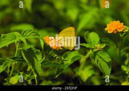 Primer plano de una mariposa sin nubes de azufre Phoebis Sennae polinizando un flor