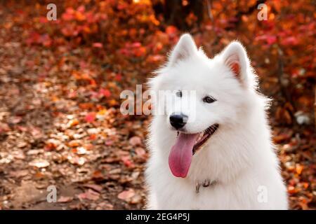 Samoyed Perro retrato en el bosque de otoño cerca de las hojas rojas . Fondo canino. Concepto de perro de paseo