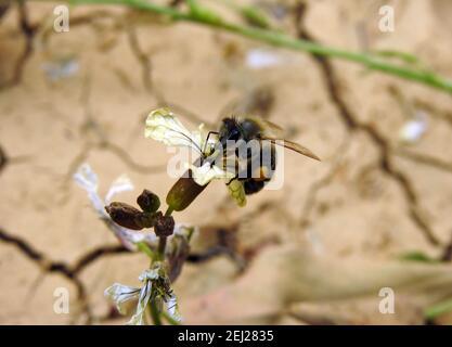 Una pequeña abeja voladora alrededor de una flor de arúgula, consumiendo el néctar de una flor