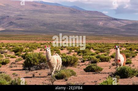 Dos lamas están caminando en el valle cerca de la montaña. Bolivia, Andes. Altiplano, América del Sur