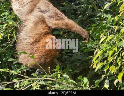 El perezoso de dos dedos de Hoffmann (Choloepus hoffmanni) se alimenta en la pirámide de la selva tropical, Moody Gardens.