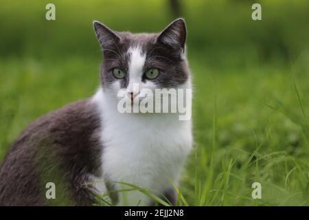 Un gato gris con una mirada penetrante de ojos verdes se sienta en hierba verde sobre el fondo de un jardín en un día de verano al aire libre. Retrato de un hermoso gato.
