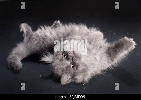 Gracioso gatito gris de pelo largo rodando en su espalda con sus patas en el aire.