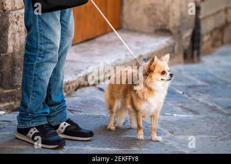 Una cara adorable y adorable perro Chihuahua, ojos marrones en la correa pequeño perro pedigrí en Italia calle naranja pelaje pelaje con hombre persona piernas de propietario Foto de stock