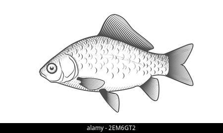 Boceto de carpa cruciana, pez dibujado a mano, pez cruciano en estilo grabado, vector