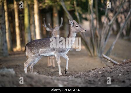 hermoso ciervo de pie en un bosque salvaje