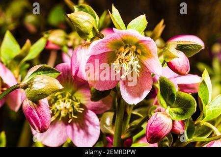 Primer plano de Helleborus orientalis rosa en un jardín del norte de Londres en invierno, Londres, Reino Unido
