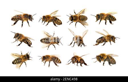Grupo de abejas o abejas melíferas en Apis mellifera latina, abejas melíferas europeas o occidentales aisladas sobre fondo blanco, abejas melíferas doradas