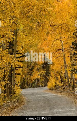Árboles de Aspen en el follaje de otoño en la carretera al norte por el lago cerca de Bishop, la parte oriental de Sierra Nevada, California, EE.UU.