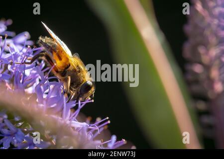 Cierre de una abeja de miel occidental o una abeja de miel europea APIs mellifera néctar de alimentación de flores púrpura