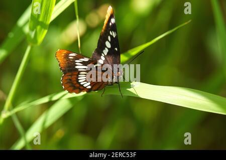 Una mariposa almirante de Lorquin (Limenitis lorquini) encaramada sobre una hoja de hierba.