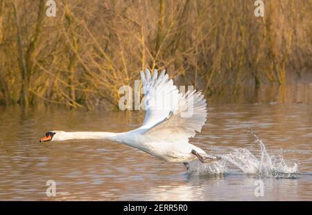 Mute Swan, Broom Lakes, Bedfordshire, Reino Unido, febrero de 2021