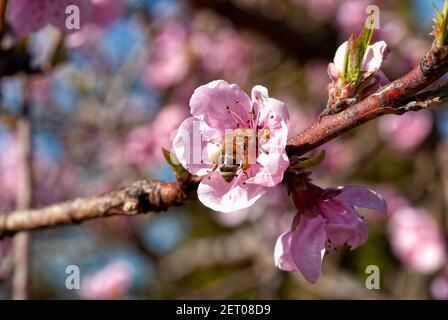 Abeja de miel Carniolan en funcionamiento (Apis mellifera carnica), flor de melocotón.