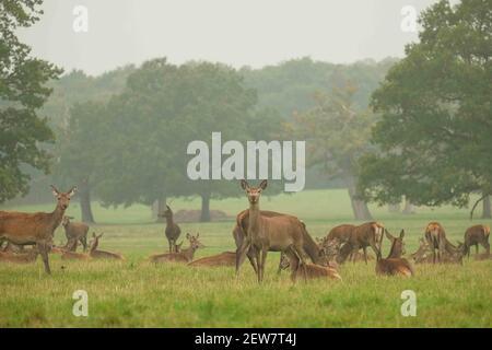 Ciervo durante la temporada de corte en el Parque Geat de Windsor el 19th de octubre de 2017. Hay una manada de alrededor de 500 ciervos rojos dentro del recinto del parque de ciervos que vagan libremente. Establecido por el duque de Edimburgo, el rebaño son todos los decendentes de 40 hinds y dos stags que se introdujeron en 1979. (Foto de Claire Doherty/Sipa USA)
