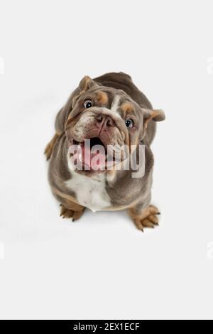 Retrato de cerca del bulldog americano aislado sobre fondo blanco.