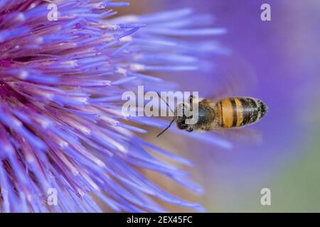 Abeja melífera (Apis mellifera) en flor de alcachofa (Cynara scolymus), Jardin des Plantes, París, Francia