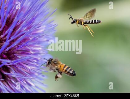 Gran abeja de surco (Halictus scabiosae) y abeja de miel (Apis mellifera) en vuelo, polinizadores en Artichoke (Cynara scolymus), Jardin des Plantes,