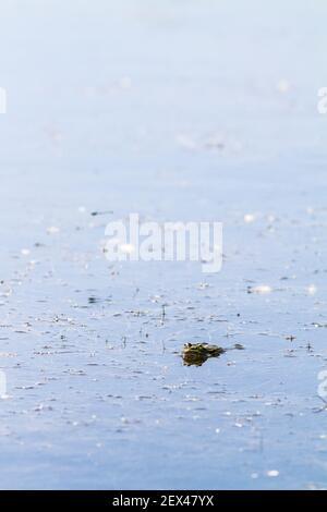 Rana verde (Pelophylax kl. Esculentus) en un estanque. Saint-Julien-le-montagnier, Var, PNR Verdon, Francia