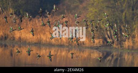 Teal común (Anas crecca) en vuelo, Reserva Natural del Delta Sauer, banco del Rin, Munchhausen, Alsacia, Francia