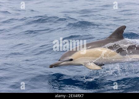 Delfín común (Delphinus delphis), Santuario de Pelagos para mamíferos marinos mediterráneos, Francia, Mar Mediterráneo
