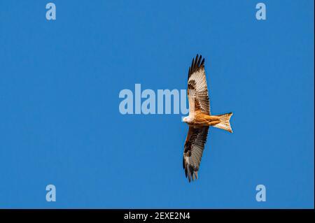 Kite rojo, milvus milvus, en vuelo a principios de la primavera contra cielos azules claros