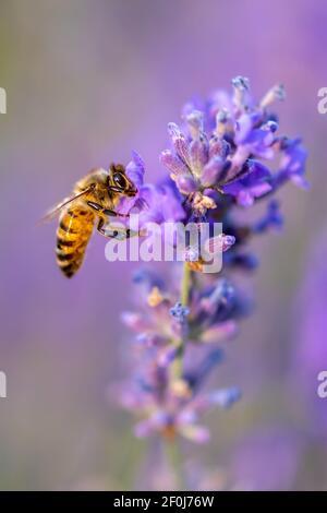 Abeja en busca de néctar de flor de lavanda. Enfoque selectivo y de primer plano