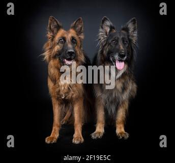 pastores alemanes delante de fondo negro
