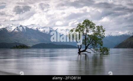 Sauce crece en medio del lago con montañas de fondo. Tiro del famoso árbol Wanaka de Nueva Zelanda hecho durante el día nublado.