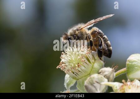 Honigbiene, Honig-Biene, Europäische Honigbiene, Westliche Honigbiene, Weibchen, Biene, Bienen, Apis mellifera, Apis mellifica, abeja melífera, abeja colmena, w