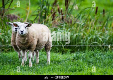 Un par de ovejas fotografiadas en Giethoorn una ciudad en la provincia de Overijssel, países Bajos se encuentra en el municipio de Steenwijkerland, abou
