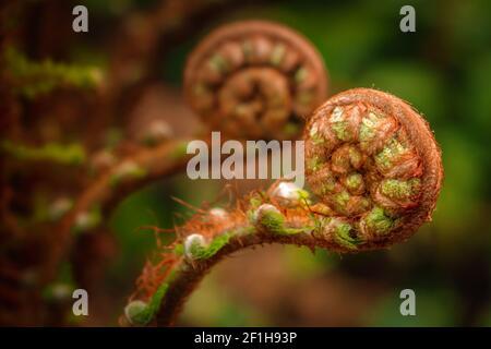 Helecho espiral