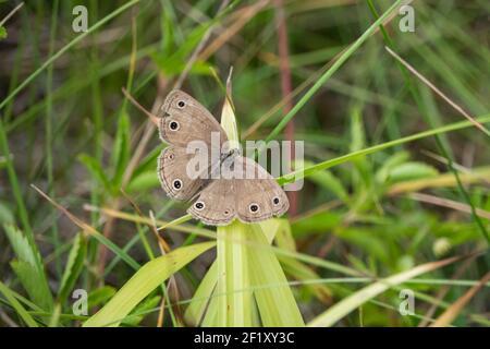 Little Wood Satyr Butterfly en verano Foto de stock