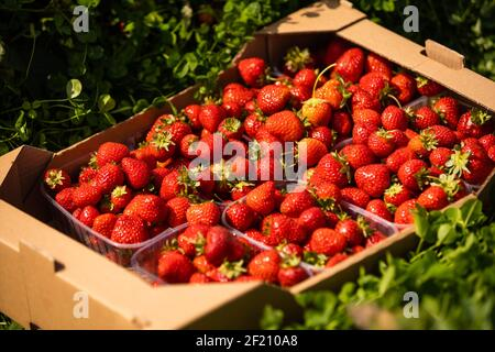 fresas frescas en cajas de madera en el fondo de los campos