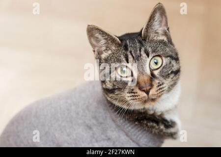 Gato divertido en suéter gris se sienta en el piso de cerca.