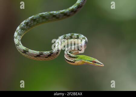 Serpiente de la vid asiática en una rama del árbol, Indonesia