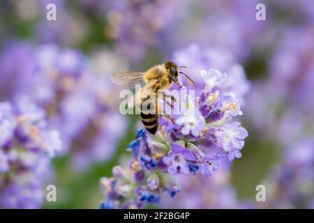 La abeja de rayas ha aterrizado y se sienta sobre una flor de lavanda. Recoge néctar. En las patas están el polen. Primer plano.