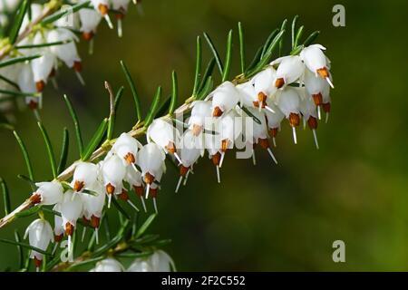 Brezal de invierno, floración de invierno Heather o brezo de primavera (Erica carnea) floración al final del invierno. De cerca. Flores blancas. Bergen, países Bajos