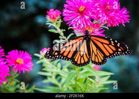Mariposa monarca con alas abiertas en la planta Fuchsia Aster