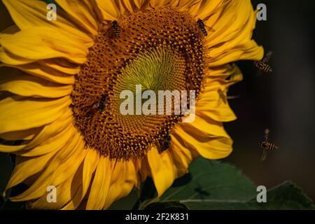 las abejas y las moscas de la abeja recolectan polen en un florecimiento girasol