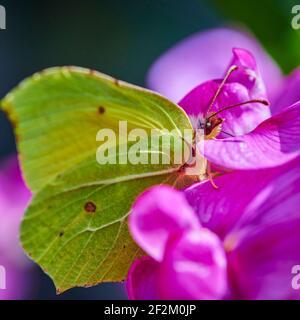 Disparo macro extremo de una mariposa de azufre (gonepteryx rhamni) sentado en una vetch rosa.