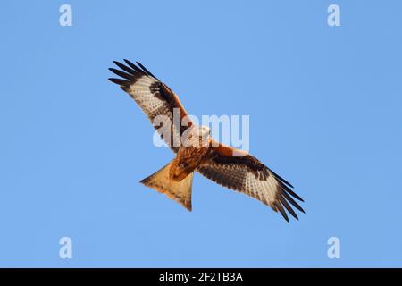 Un Kite Rojo (Milvus milvus) en vuelo en el Reino Unido Foto de stock