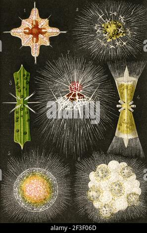 Los hongos radiotróficos, pueden usar la radiación como fuente de energía para estimular el crecimiento. La mayoría de los hongos radiotróficos usan melanina para sobrevivir. 1 Acanthostaurus purpurpurascens. 2 Anfibelona anomala. 3 Dictiosoma trigonizon. 4 Dorataspis polyancistra. 5 Diploconus fasces. 6 Cladosporium sphaerospermum. 7 Arachnocorys circuntexta. Ilustración de la litografía a color del viejo siglo 19th de el Mundo ilustrado 1879