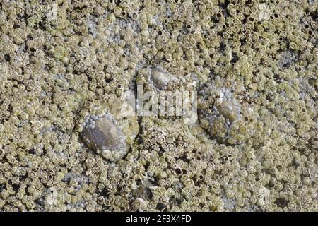 Barnacles de Acorn y Limpet común expuestos a balanoides tideSemibalanus bajos & Patella vulgata cabeza áspera Orkney Mainland IN000921