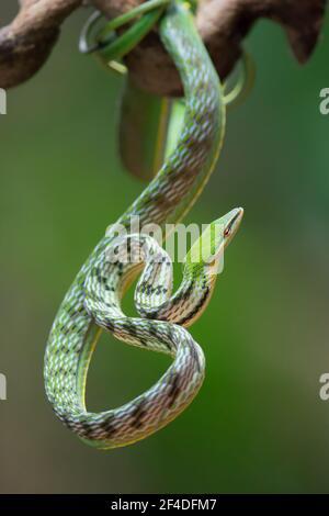 Primer plano de una serpiente de vid asiática en una rama, Indonesia