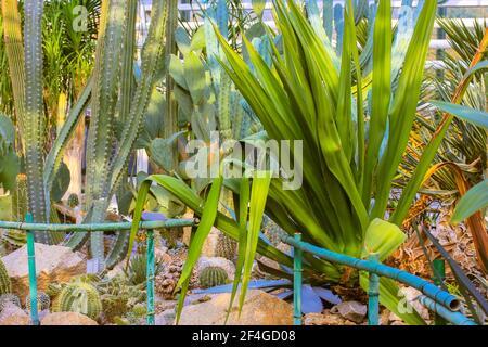 Grupo de cactus decorativos suculentos agave dentro del invernadero en el jardín botánico tropical entre las piedras masivas. Un invernadero invernadero.