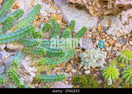 Flores suculentas y cactus en un jardín botánico tropical, invernadero, invernadero. Composición de suculentos, cactus, piedras y trapos, vista superior, fla Foto de stock