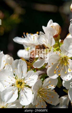 Abeja melífera Carniolan (Apis mellifera carnica) en flor de cerezo.