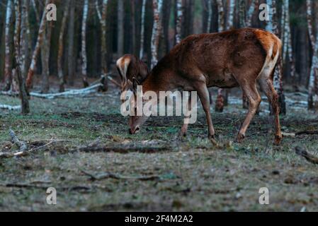 Ciervo rojo vaca en el bosque, una parte trasera en un bosque, doe en el bosque