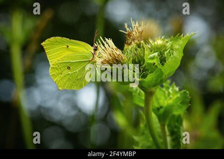 Vista lateral del azufre común, una mariposa con alas amarillas brillantes y ojos marrones, sentado en un cardo de col verde fresco que crece en la naturaleza.
