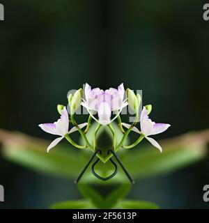 Orquídea Dendrobium con flores de color rosa pálido en una composición abstracta.